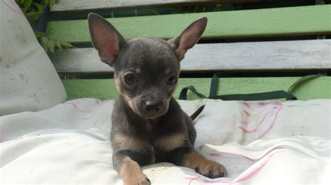 blue chihuahua puppies blue chihuahua puppies for sale quotes