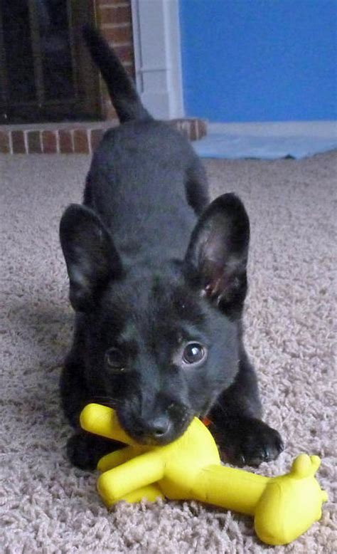 schipperke pomeranian mix puppies for sale dogs for sale puppy for sale schipperke pictures breeds picture