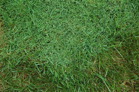 different types of grass in lawn not crab grass