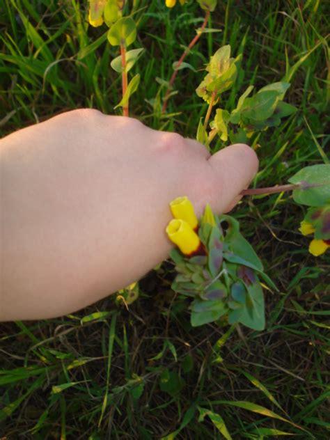 pianta con fiori gialli pianta con fiori gialli e cerinthe major forum