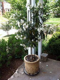 gardening on the porch pruning nerium oleander oleander apocynaceae evergreen shrubs