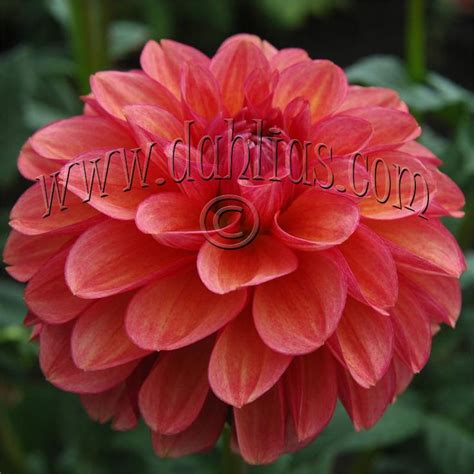 china doll dahlia 25 best images about dahlias on china dolls