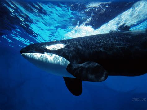 Whale L by Whales Images Orca Hd Wallpaper And Background Photos 5782754