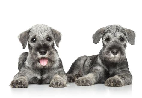 standard schnauzer puppies for sale standard schnauzer puppies for sale akc puppyfinder