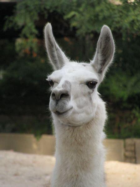 imagenes animal llama imagen de animal llama salvaje andino vista de frente