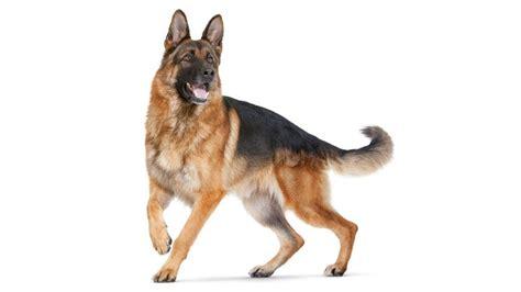 pastore tedesco alimentazione migliori crocchette per pastore tedesco mangimi per cani