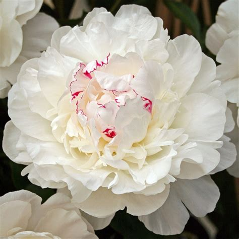 Maxiinner Peony festiva maxima peonies flowers and fillers flowers by category flower finder