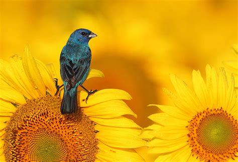 indigo bunting on sunflower flickr photo sharing