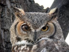 great horned owl boulder colorado pinterest great