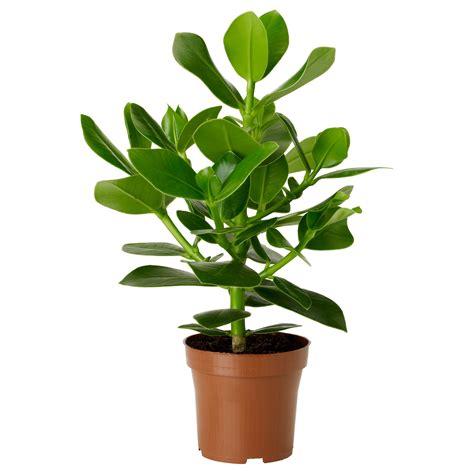 ikea planter clusia potted plant 12 cm ikea
