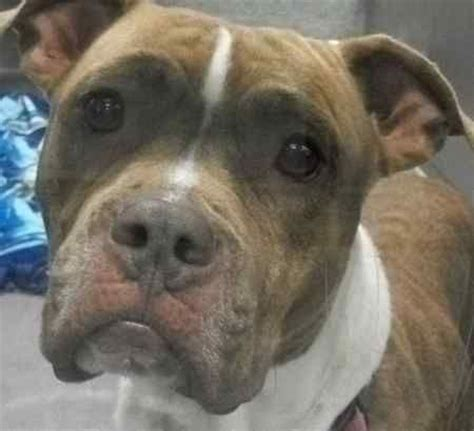 adopt a md adopt shea a at maryland spca rescue dogs a maryland and pets