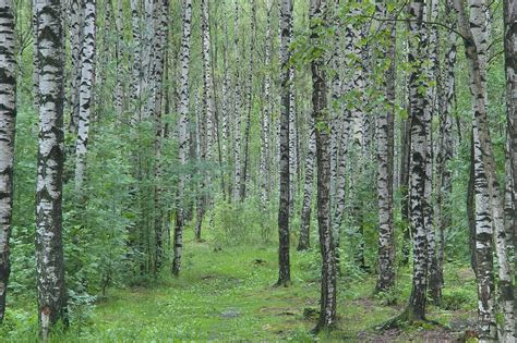 tree s birch trees search in pictures