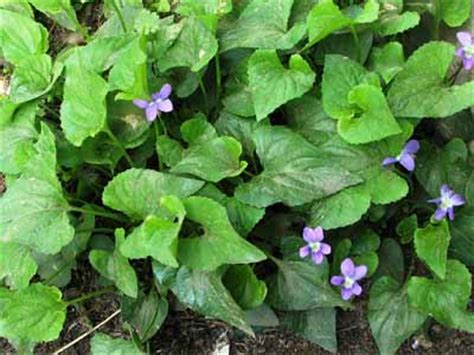 How To Get Rid Of Ground Ivy And Wild Violets Spring Green