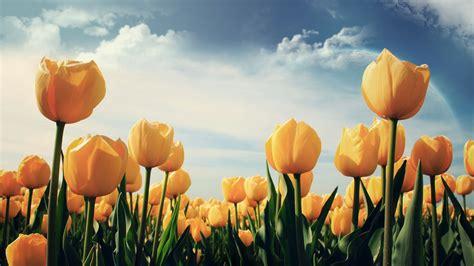 wallpaper bunga tulip kuning tips tips kesehatan untuk anda 30 wallpaper bunga paling