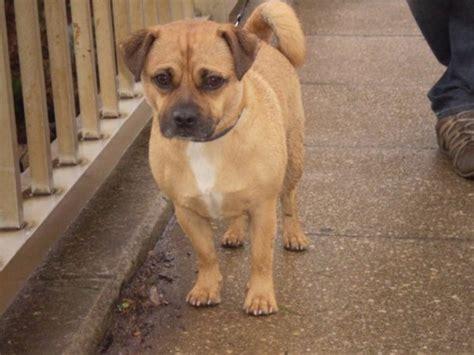pug grown jug terrier pug mix info temperament pet care puppies