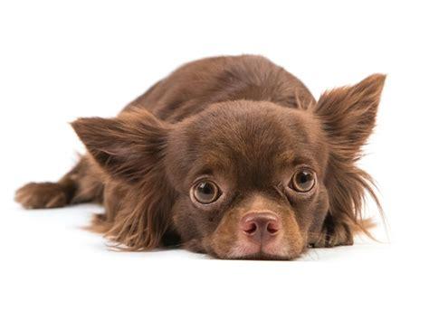 symptoms of kidney disease in dogs kidney disease congenital in dogs petmd