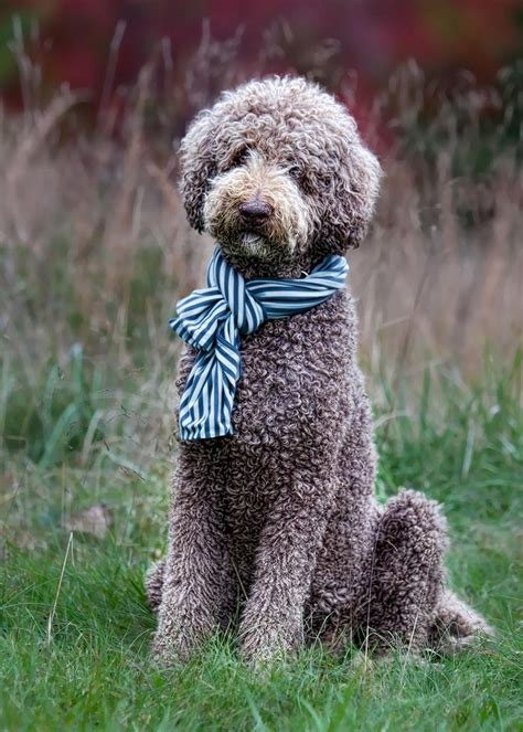 Gentleman Milo Chocoolate 1000 ideas about poodle cuts on poodles standard poodles and poodles