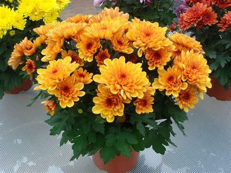 crisantemi in vaso crisantemi piante perenni coltivare crisantemi
