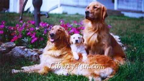 golden retriever family liberty run golden retrievers breeders of healthy intelligent and calm golden