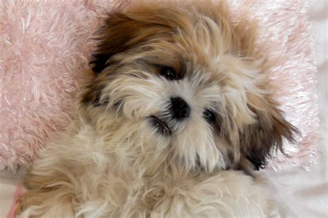 shih tzu blogs shih tzu do cachorro