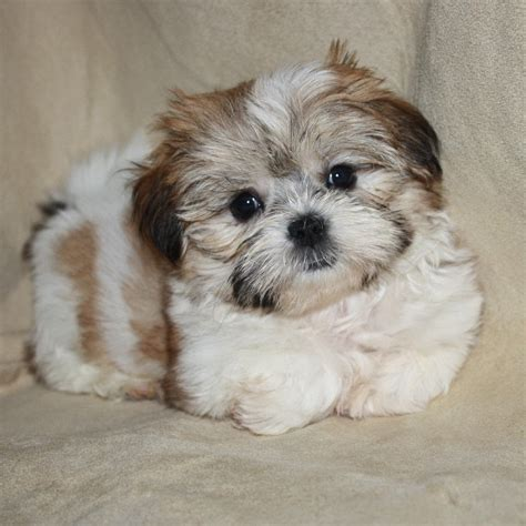 what is a shorkie puppy related keywords suggestions for shorkie puppies