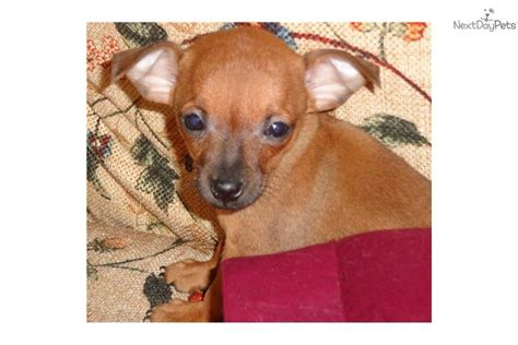 free chihuahua puppies michigan taco chihuahua puppy for sale near battle creek michigan 903cd151 f381