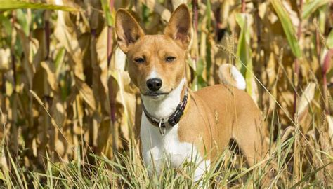 dogs carnivores corn for dogs 101 can dogs eat corn science facts nextgen