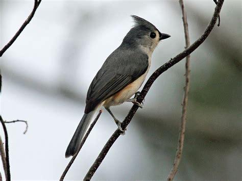 back yard birds of western north carolina western north