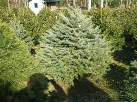 new york among nation s top christmas tree producers wbfo
