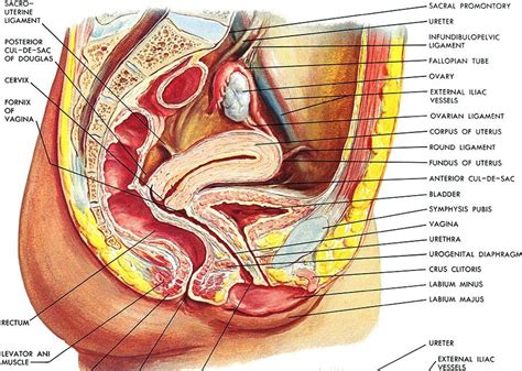 cross section of vagina ultrasound leadership academy the basics of pelvic