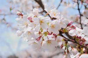 花見 hanami flower viewing a foreigner s tale in japan