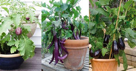 eggplant in container garden how to grow an eggplant in a pot balcony garden web