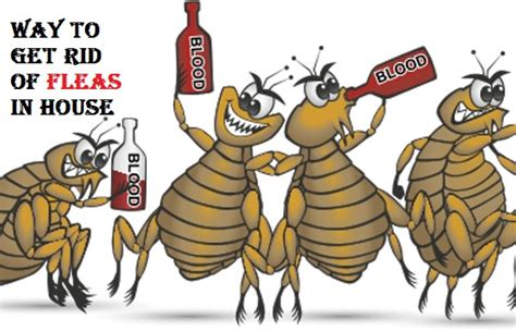 how to get fleas out of your house how to get rid of fleas in house