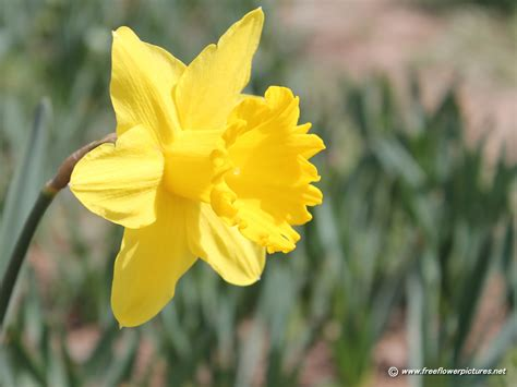daffodil yellow daffodil pictures daffodil flower pictures