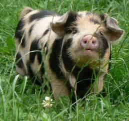 a word about wee teacup piggies freedom farms