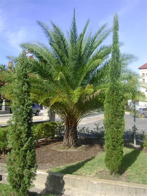 Palm Trees With Orange Fruit - buy date palm trees eastern quay asset management holland