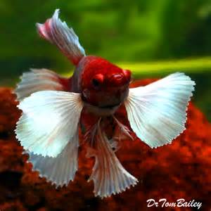 male bettas including proper food compatible tank mates lifespan and