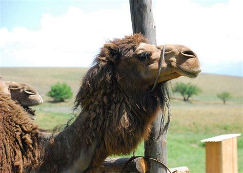 Camel Predator Safty foodista australia considers exporting camel