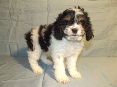 shih tzu cocker spaniel mix a tzu cocker spaniel shih tzu mix info temperament puppies pictures