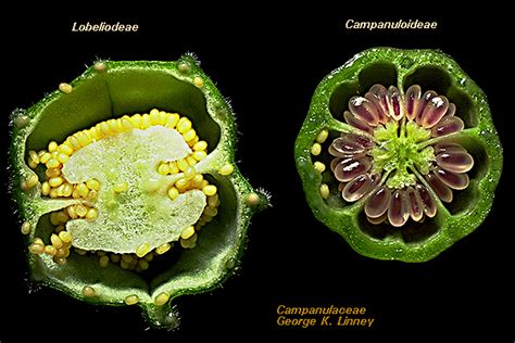 flower ovary cross section lon capa flowering plant families uh botany