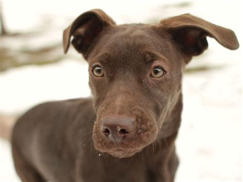 chocolate lab golden retriever mix puppies yellow lab pitbull mix puppies