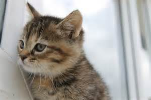 Fluffy tabby mixed with bengal kittens ilford essex pets4homes