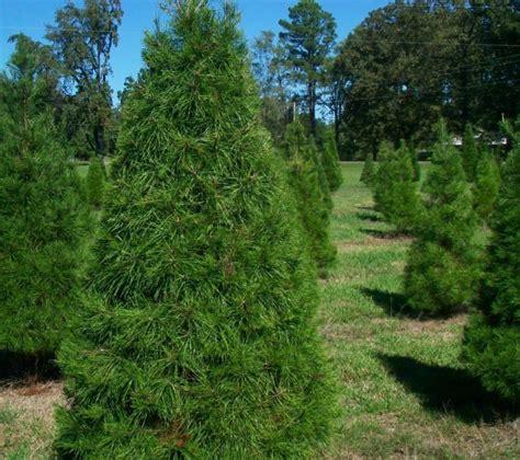 why buy live hughes christmas tree farm