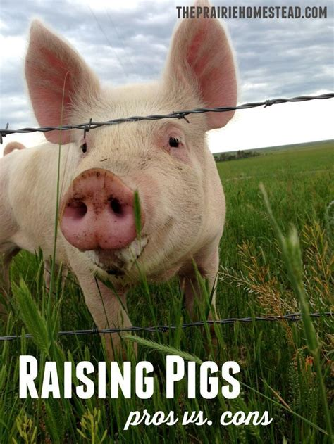 raising backyard pigs raising backyard pigs 84 best raising pigs images on