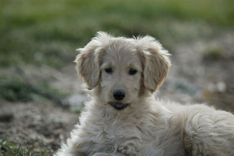 puppy adoption colorado labradoodle rescue colorado