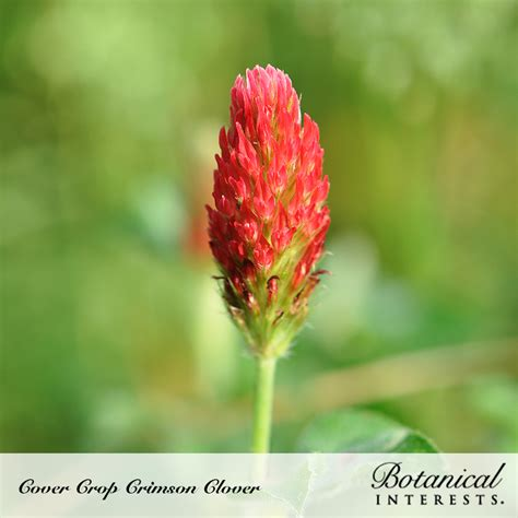 crimson clover cover crop seeds view  vegetables