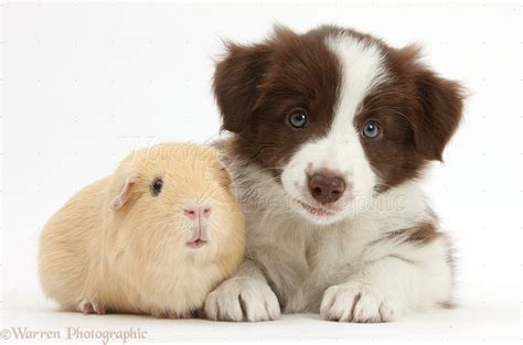 how to a pig pup pets chocolate border collie puppy and guinea pig photo wp40781