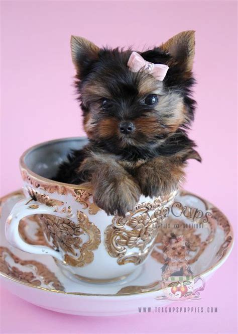 teacup pugs for sale in utah best 25 teacup puppies for sale ideas only on yorkie teacup puppies