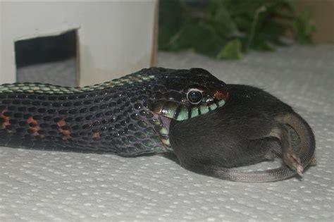 Garden Snake Eat Mice Spotted Garter Snake A Mouse 2003 Garter