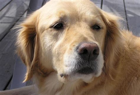 owning golden retriever featured breed golden retriever thatmutt a